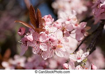 prunus, serrulata, cerise, fleurir