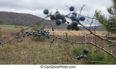 Prunus spinosa, or blackthorn bush with lots of berries