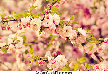 Prunus triloba (Louiseania) blossoms. Spring branch of almond with beautiful pink flowers. Nature background.