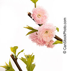 prunus triloba flower