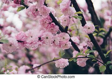 Prunus triloba on a tree branch
