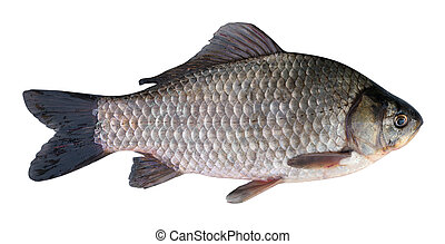 Prussian carp (Carassius gibelio) on a white background -...