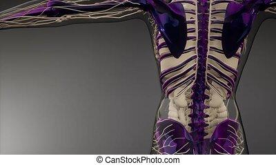 przeźroczysty, ciało, widoczny, ludzki, kość