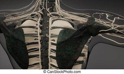 przeźroczysty, ludzki, kość, widoczny, ciało