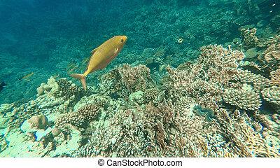 przedimek określony przed rzeczownikami, podwodny, świat, od, przedimek określony przed rzeczownikami, czerwony, sea., marsa, alam