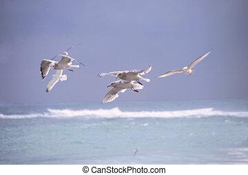 przelotny, seagulls