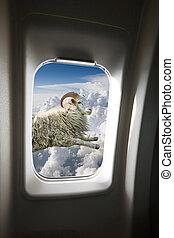 przelotny, sheep