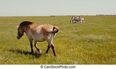 Przewalski horse is walking in front of group of zebras grazing in the steppe.