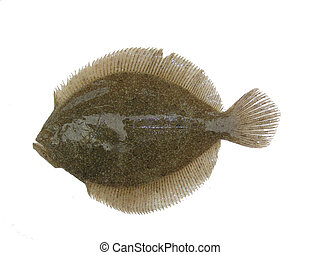 psetta maxima - flat fish isolation