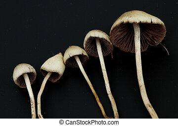 psilocybe semilanceata macro close up
