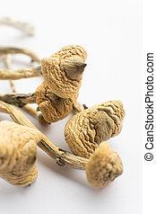 Psilocybin mushroom. Close up Magic shroom. Psychedelic drug. Dry Psilocybe cubensis. Psilocybin Mushroom. White background. Albino A strain. Vertical shot