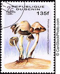 Psilocybin Mushroom Psilocybe caerulescens var. caerulescens...