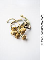 Psilocybin Mushroom. White background. Psilocybin mushroom. Albino A strain. Close up Magic shroom. Psychedelic drug. Dry Psilocybe cubensis. Vertical shot