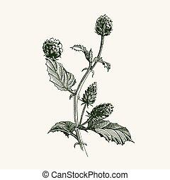 Psoralea Corylifolia Babchi natural healthy plant vector illustration. Bakuchiol - natural Retinol Alternative Meroterpene from medical Psoralea.