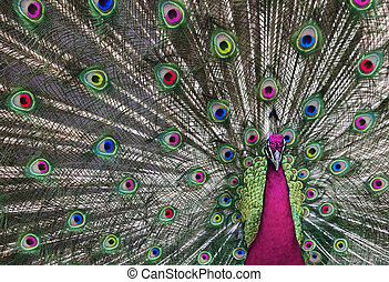 Psychedelic Peacock 1