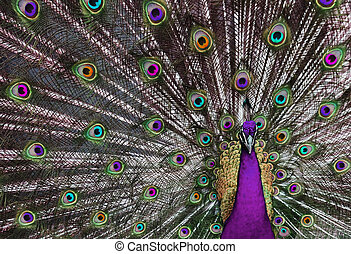 Psychedelic Peacock 1 - Peacock with his tail feathers on ...
