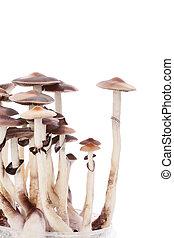 psylocybin, pilze, magisches, isolated.