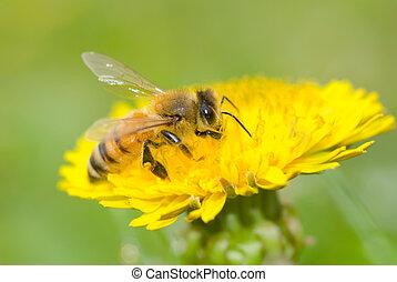 pszczoła, i, mniszek lekarski, kwiat