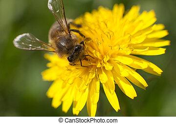 pszczoła miodu, na, żółty kwiat
