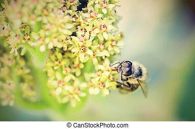 pszczoła miodu, na, kwiat