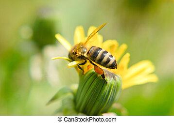 pszczoła miodu, na, mniszek lekarski, kwiat