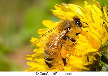 pszczoła miodu, pracujący twardy, na, mniszek lekarski, kwiat