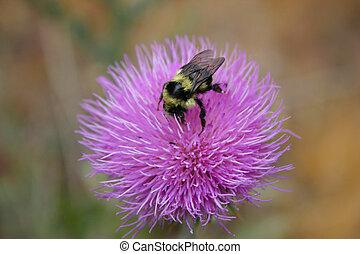 pszczoła, na, kwiat