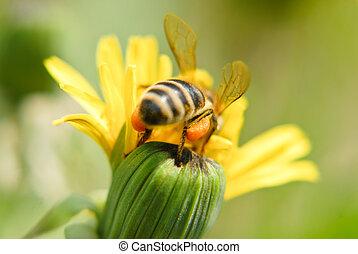 pszczoła, na, mniszek lekarski, kwiat