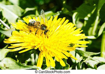 pszczoła, na, mniszek lekarski