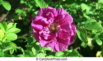 pszczoła, na, niejaki, róża, flower., hd, 1080.