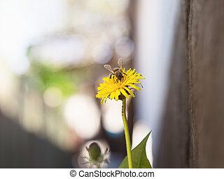 pszczoła, na, przedimek określony przed rzeczownikami, kwiat, mniszek lekarski