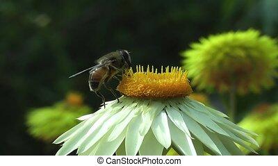 pszczoła, zapylanie, lato, stokrotka, kwiat