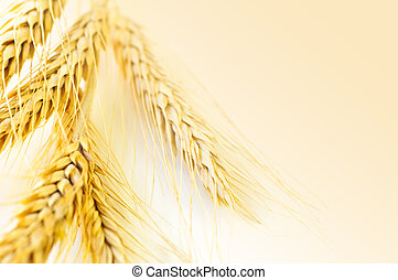 pszenica, kłosie