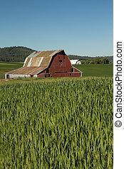pszenica, metal, dach, pole, zielony czerwony, stodoła