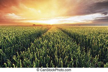 pszenica, panorama, -, pole, rolnictwo, krajobraz