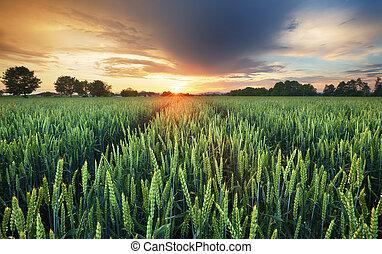 pszenica, panorama, -, pole, zachód słońca, rolnictwo, droga
