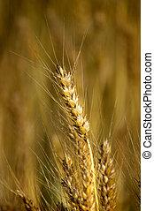 pszeniczny badyl