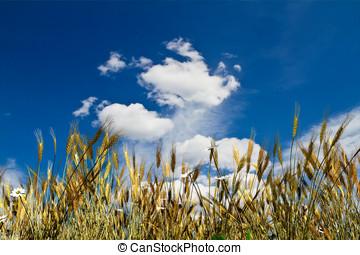 pszeniczysko, closeup