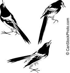 ptáček, ilustrace