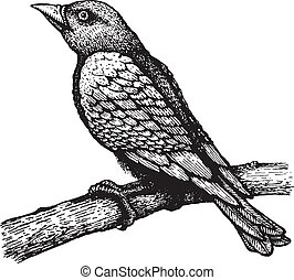 ptáček, oproti větvit