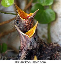 ptáci hnízdit, s, mládě, ptáci, -, euroasijský, kos