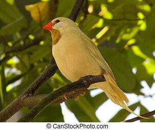 ptak, żółty
