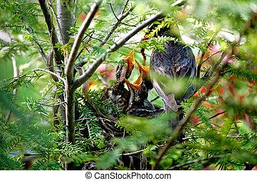 ptaszki niemowlęcia, istota, fed-1-1