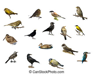 ptaszki, odizolowany, na, niejaki, biały