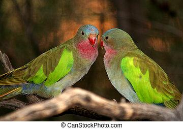 ptaszki, w, australia, 1