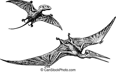 Pterodactyl or Pteranodon dinosaur flying on white...