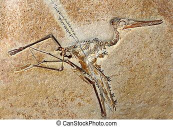 pterodactylus, elegans, fósil