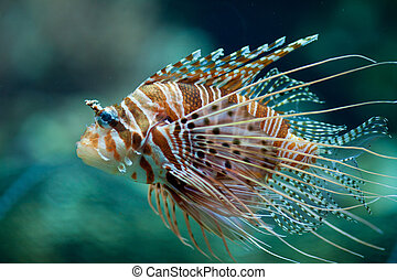 Pterois antennata fish or Lionfish