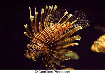 pterois antennata, haveloos, finned, firefish, lionfish