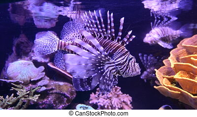 Pterois Lionfish Venomous fish swim underwater in the red...